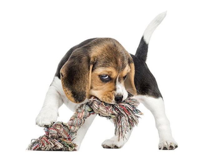 beagle puppy chewing a rope toy
