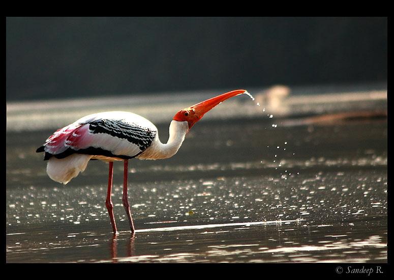 painted-stork-at-ranganathittu