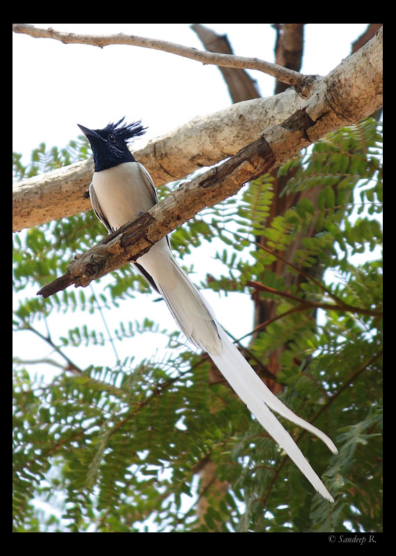 Asian Paradise Flycatcher (male)