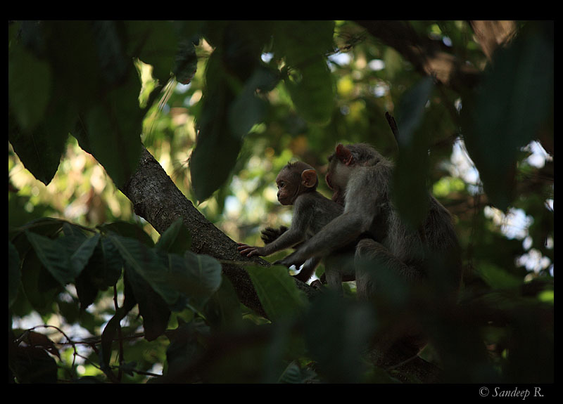 Bonnet macaque - mom and son