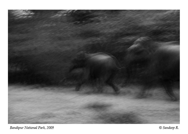 Elephant-calf-running