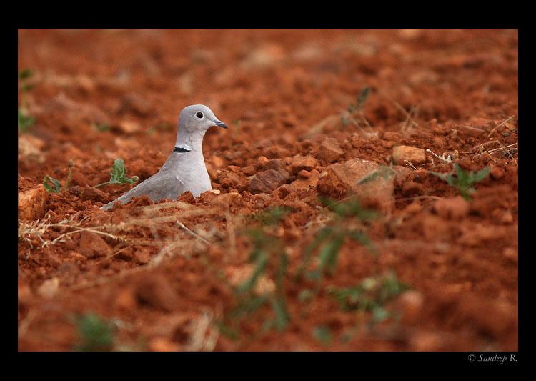 Eurassian-Collared-Dove