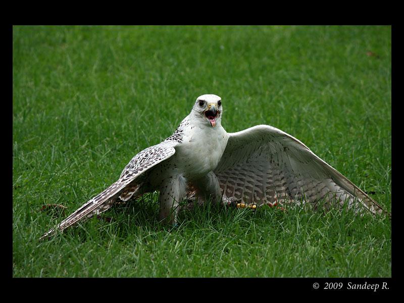 Falcon panting