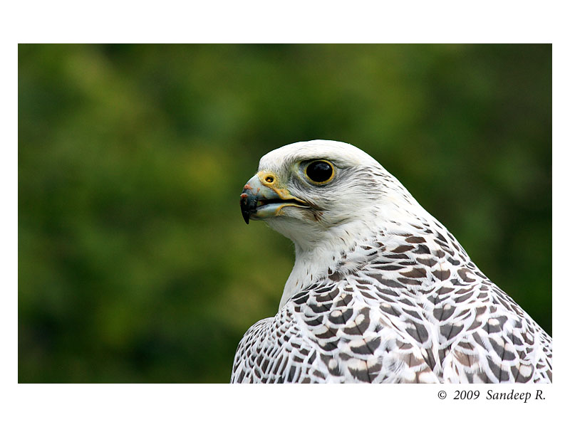 Falcon-white