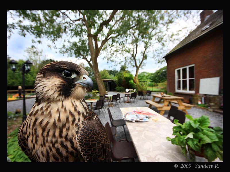 Peregrine Falcon - fastest bird on earth