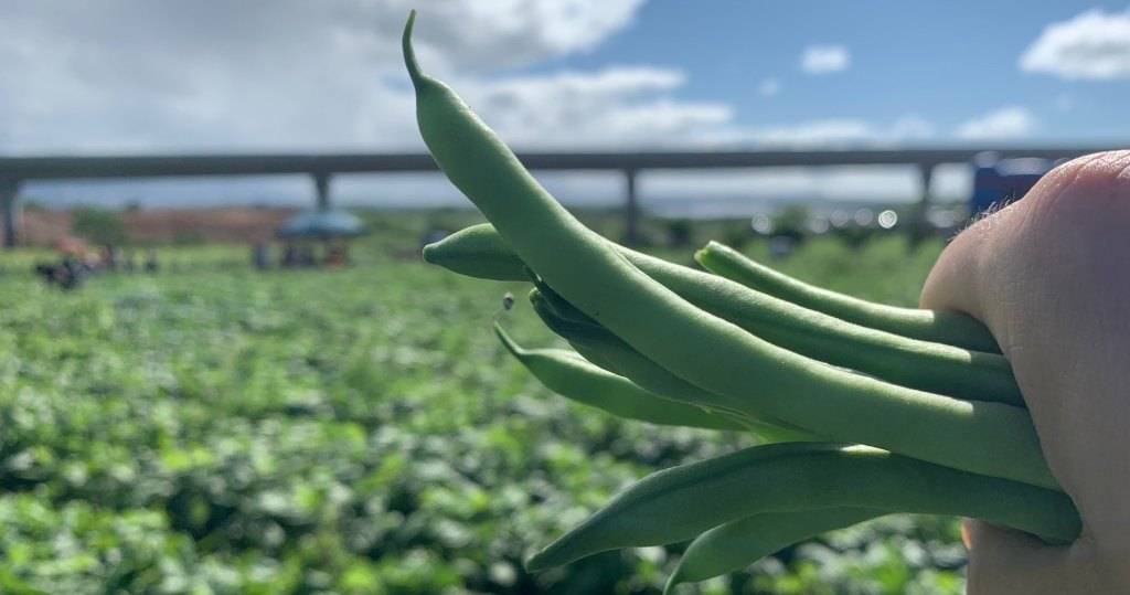 green beans picked at aloun farms pumpkin patch