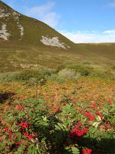Rowan-berries-Berriedale