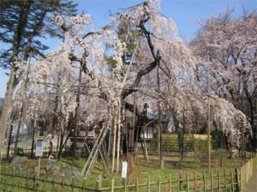 弘法寺【枝垂れ桜】