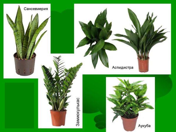 Тенелюбивые комнатные растения с фото и названиями: самые ...