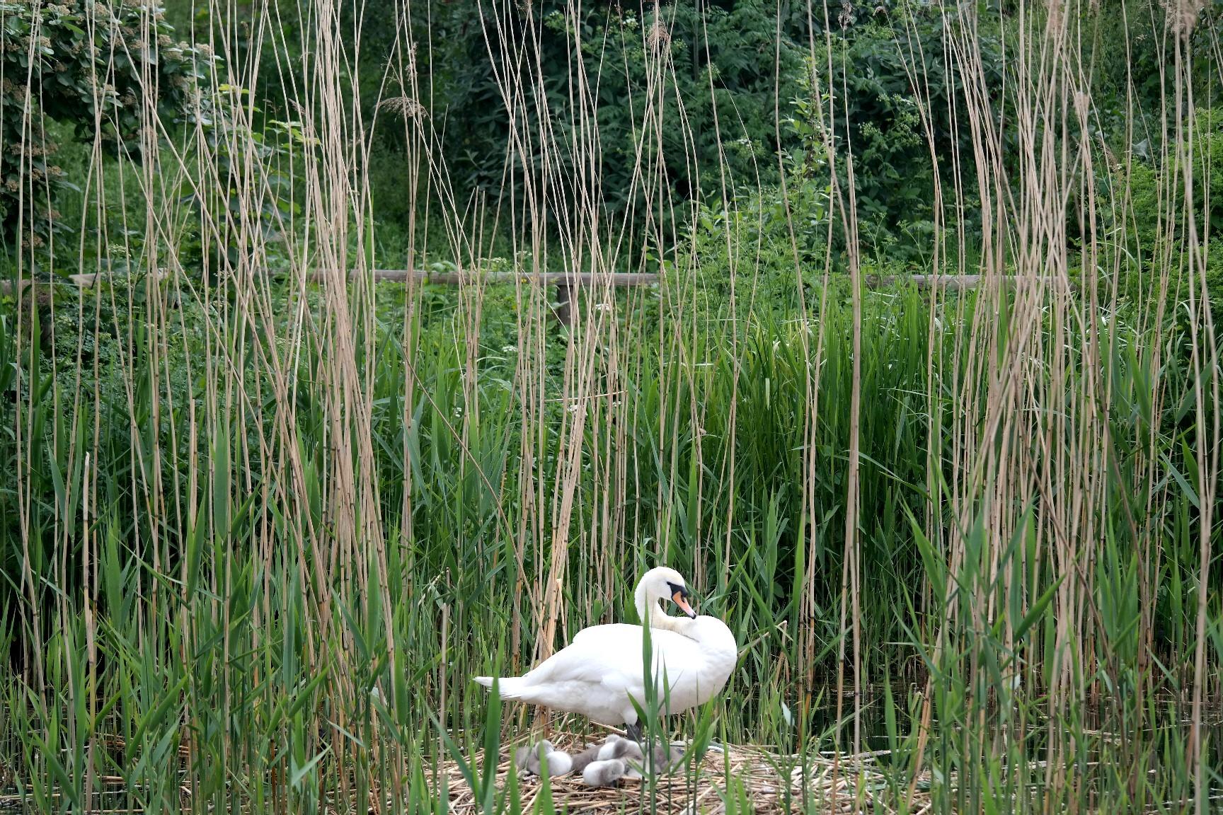 a swans nest