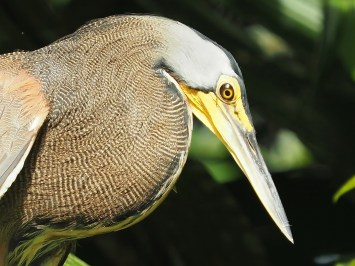 Mangrovereiher