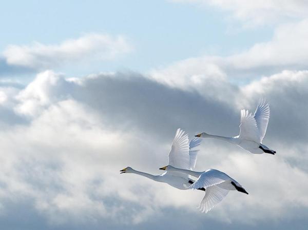 Гуси-лебеди в небе обои 1024x768.
