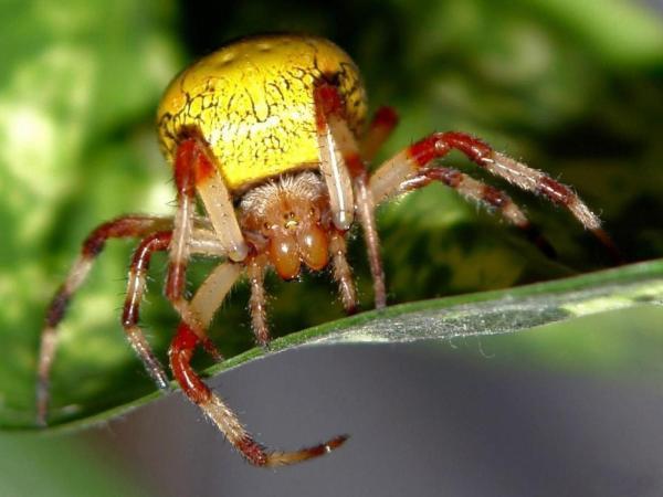 Ядовитые пауки фото обои 1600x1200.