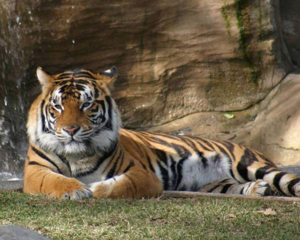 Тигр обои для рабочего стола, картинки, фото, 1280x1024.