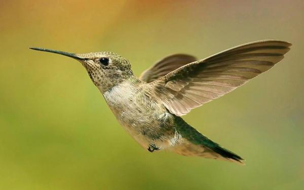 Маленькая колибри в полете, скачать с колибри обои для ...