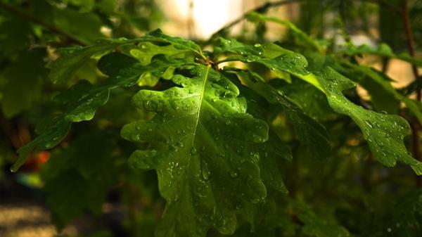 Листья дуба обои для рабочего стола, картинки, фото ...