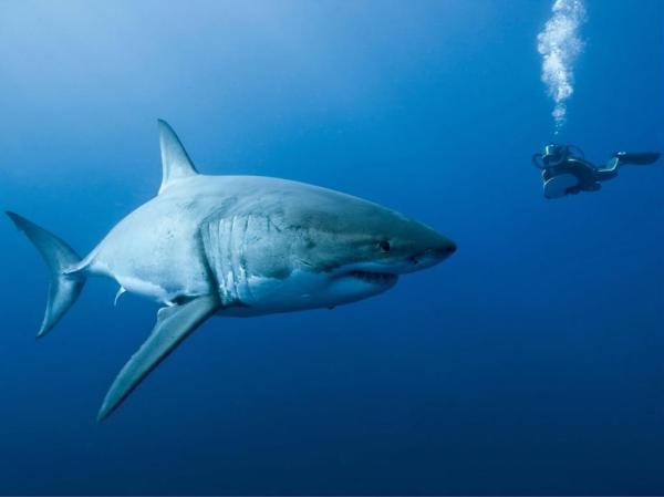 Акула и человек обои для рабочего стола, картинки, фото ...