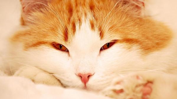 Кот, рыжий, кошка обои для рабочего стола, картинки, фото ...