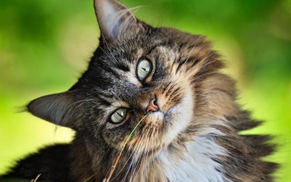Пушистый кот обои для рабочего стола, картинки, фото ...
