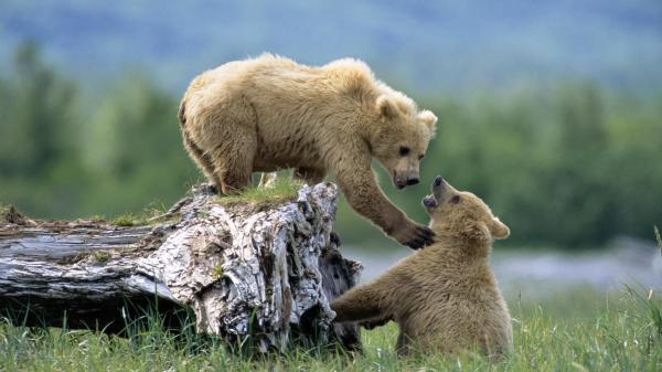 Животные, медведь, медведи, медвежата, трава, дикая ...