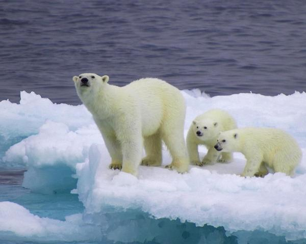 Медведица и медвежата, автостопом, на льдине обои для ...