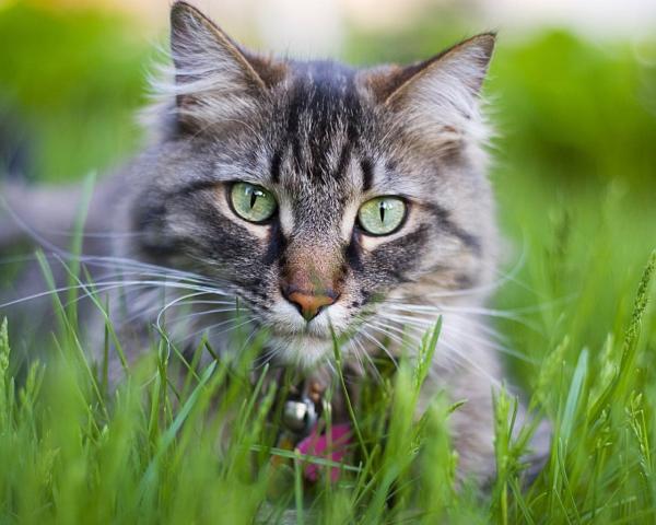 Кот, трава, крупный план обои для рабочего стола, картинки ...
