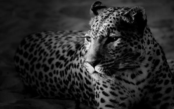 Леопард, морда, черно-белые обои для рабочего стола ...