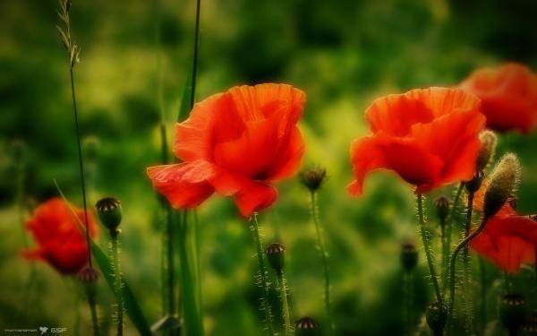 Маки цветы природа обои для рабочего стола картинки