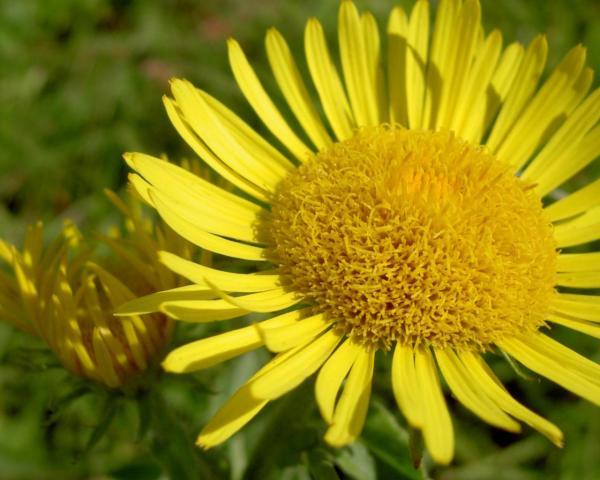 Ярко-Желтая ромашка обои для рабочего стола, картинки ...