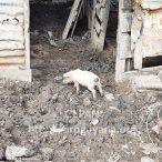 Pig farming on the Grover river dam