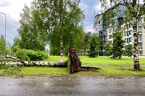 Fallen birch in Värtö, Oulu, less than an hour after the thunderstorm.