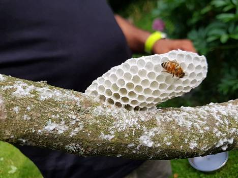 The bees had time to build a white honeycomb on Ritva Virtanen's apple tree.
