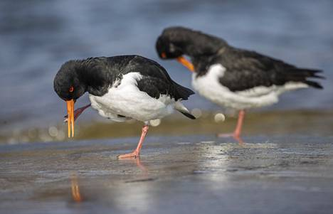 The birds 'feet have a mechanism that allows the foot to seem to lock in a standing position.  Sea buckthorn (Haematopus ostralegus).