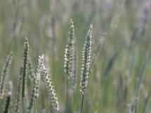 Grass, close up