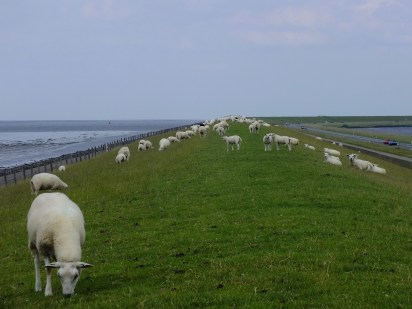 Sheep on the dike between Waddenzee (to the left) and Lauwersmeer