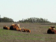 Photo by H.S. Cooper © LBJ RANCH CATTLE