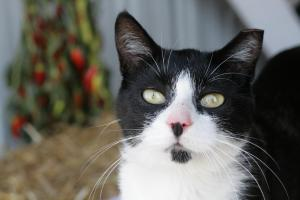 black and white cat with ear tip