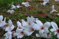 April Snow - tung flowers