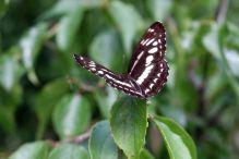Neptis nata lutatia(台灣三線蝶)