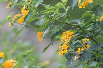 Common Lantana(馬櫻丹)