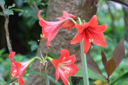 Dutch Amaryllis(孤挺花)
