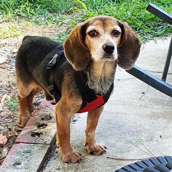 Smokie the beagle rescue dog
