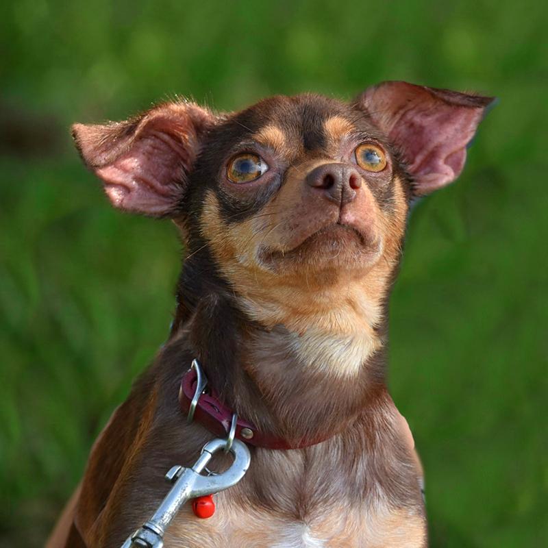 River, a Chihuahua rescue dog
