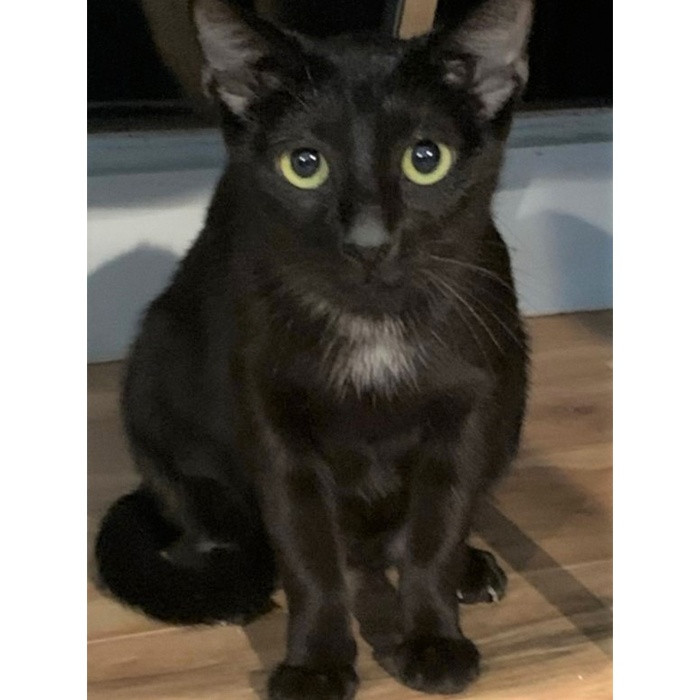 Salem, cat, adopt