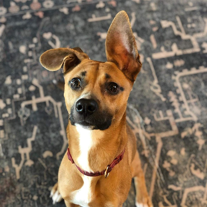 Shelton, a Boxer, Shepherd, Hound rescue dog available for adoption in Monroe County North Carolina