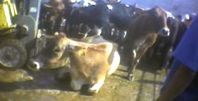 Downed cows at Hallmark Meat Packing in California