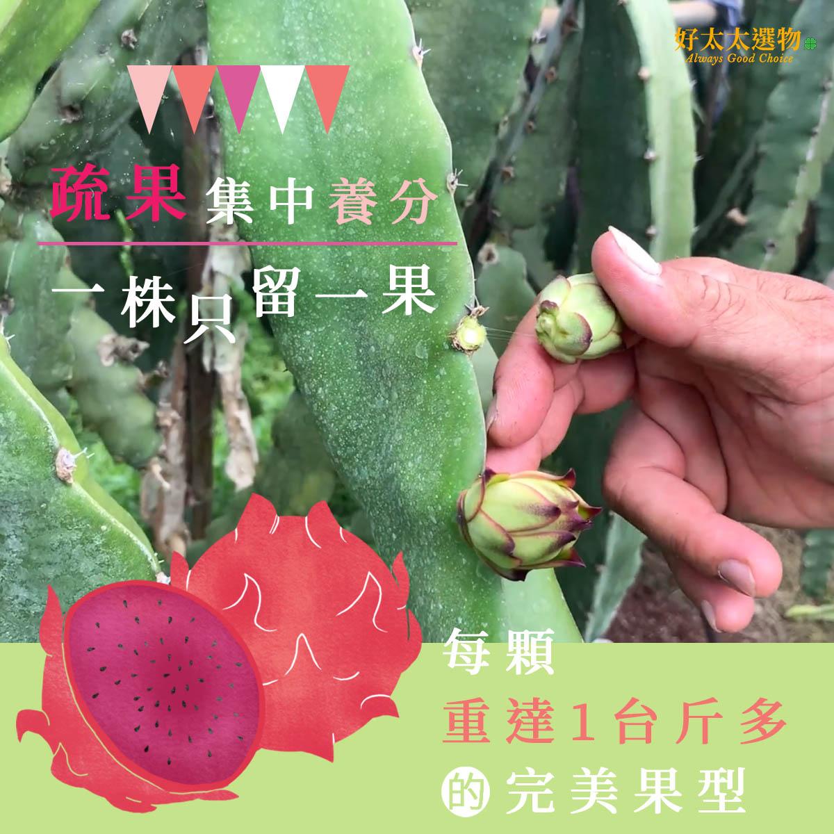 集中養分 一株只留一果 造就重達1台斤多的完美果型
