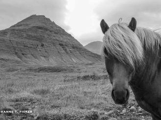 Icelandic Horses (4 of 5)