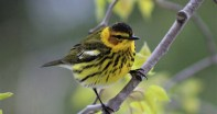Image of Cape May Warbler