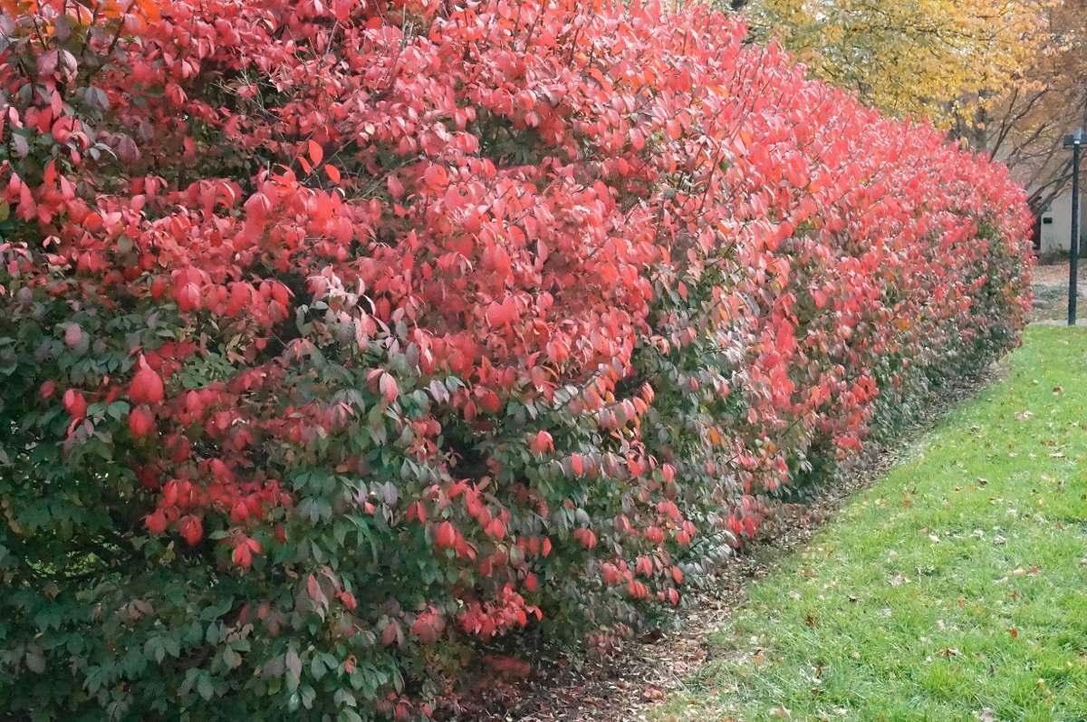 burning bush euonymus sementes cerca viva para mudas r on Burning Bush Plant id=98007